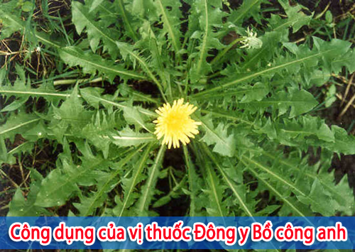 vi-thuoc-dong-y-bo-cong-anh